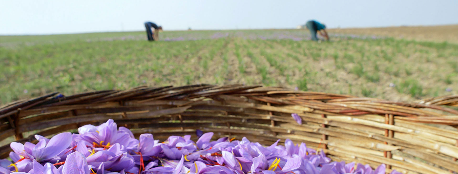 Wholesale Saffron Bulbs