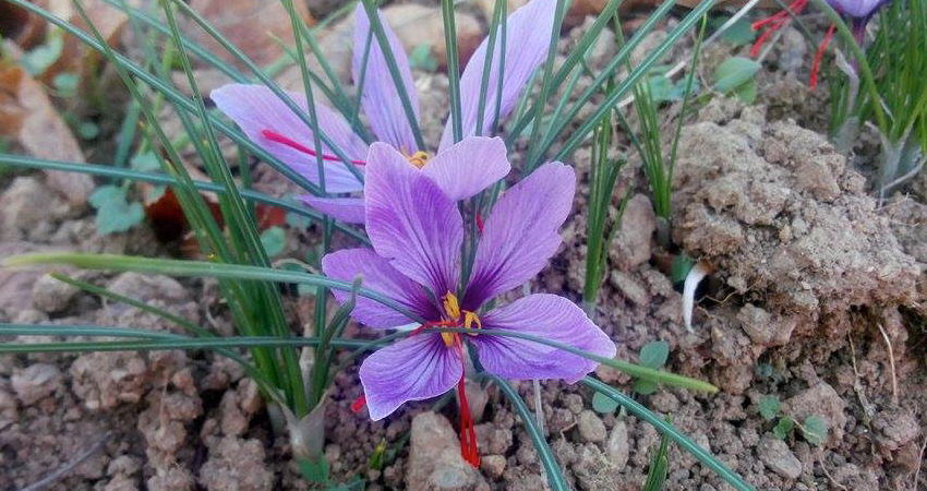 How to grow Saffron (Crocus Sativus) on a professional basis
