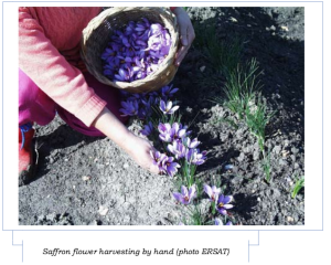 saffron-harvesting