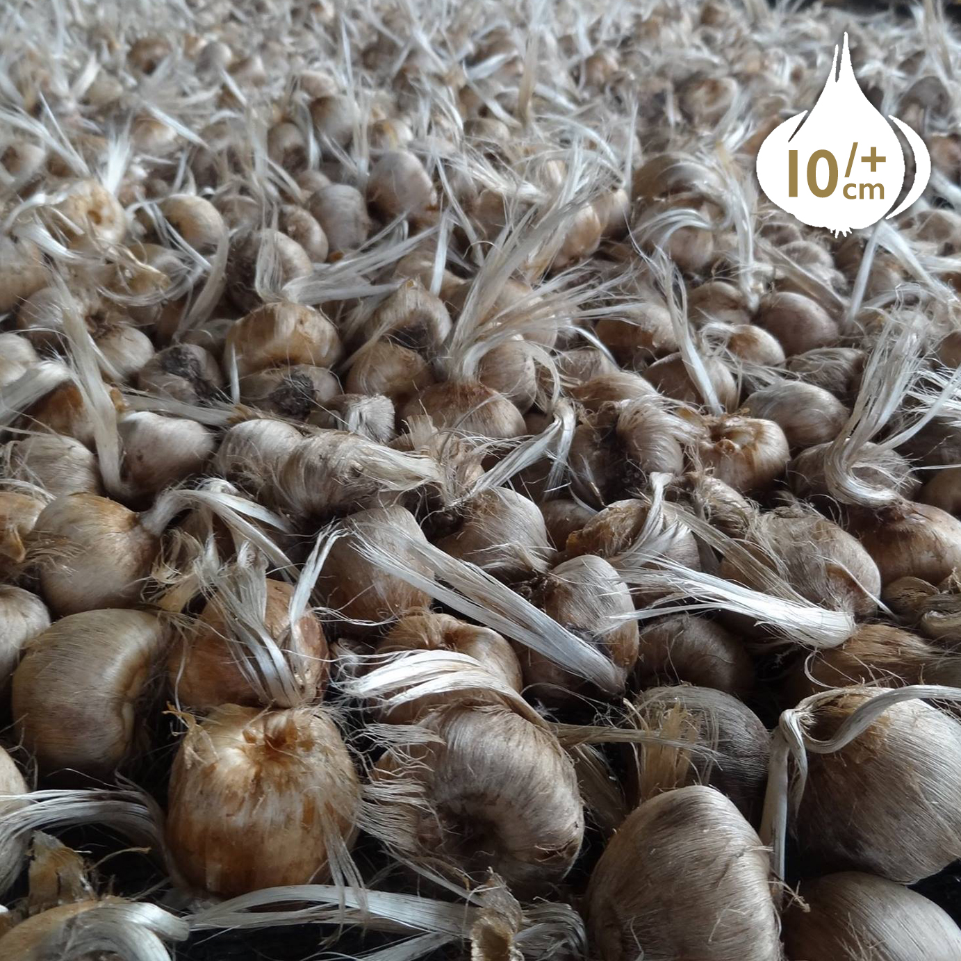 Wholesale Saffron Bulbs (Crocus Sativus) - Buy Saffron Crocus Bulbs